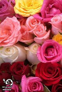 gsga 8 202x300 عیدی سایت گل سرخ غریب آشنا به مناسبت سال جدید